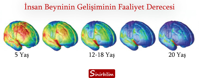 Beyin Gelişimi Yaşa Göre Farklılık Gösterir