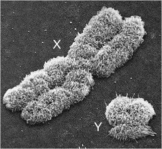 X ve Y Kromozomları