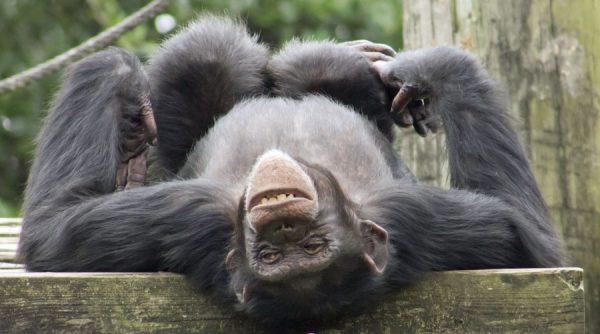Şempanzelerin Taş Biriktirme Ritüelleri ve Benzerliklerimiz