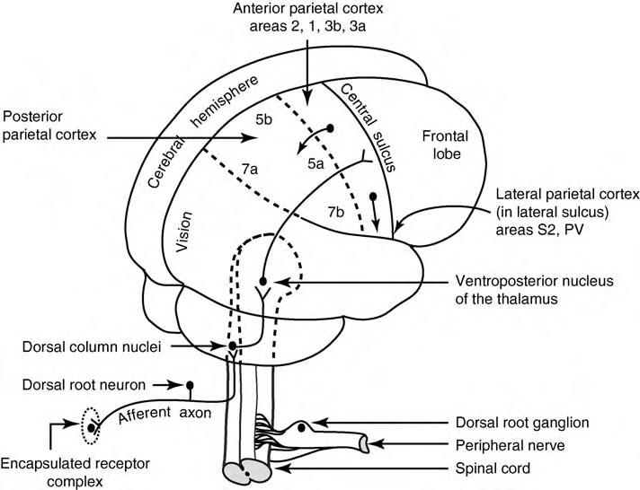 Beden duyu korteksi figür 1