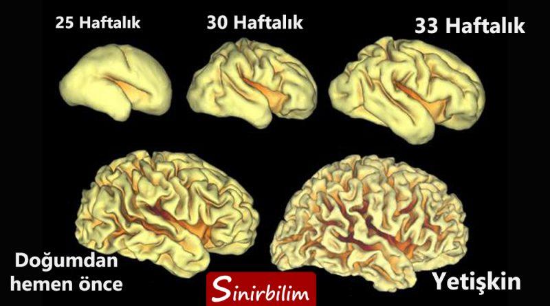 Beyin Kıvrımları