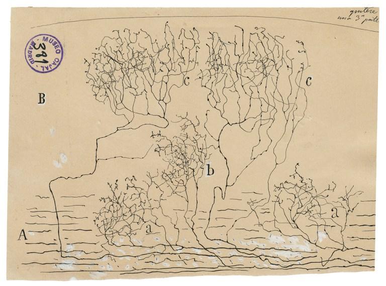 Santiago Ramon Cajal ve Nöron Doktrini