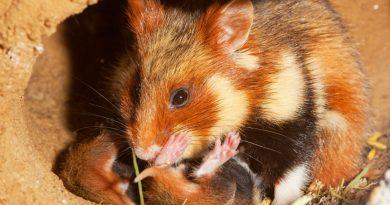 Sürekli Mısır Yiyen Hamsterlar Sonunda Yavrularını Yemeye Başladı