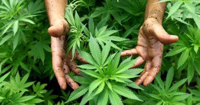 Marijuana Yüksek Tansiyondan Ölme Riski 3 Kat Artırıyor