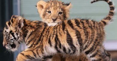 Pazarlamada Kullanılan Hayvan Resimleri, Türlerin Hayatta Kalma Oranları Hakkındaki Algıları Çarpıtıyor