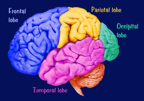 Beyin Lobları Kaç Tanedir ve Görevleri Nedir?