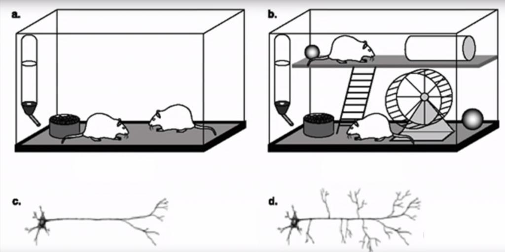 Deneyim Beyni Nasıl Değiştirir